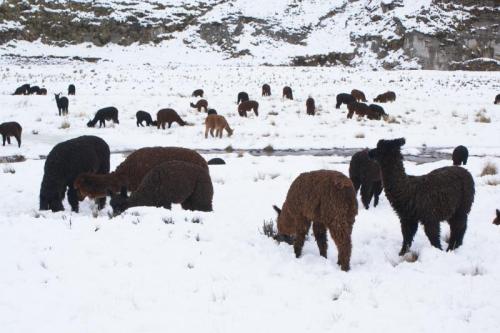 Lama's Peru